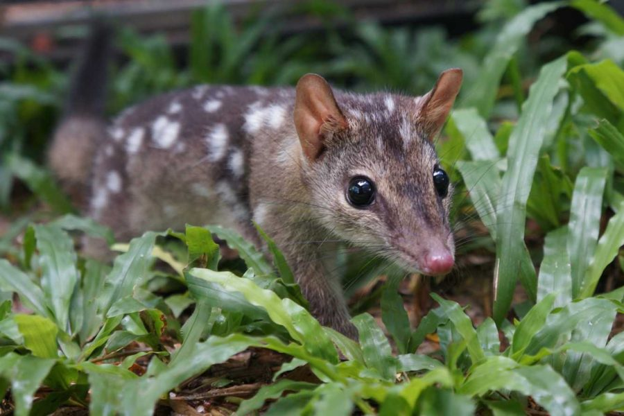 On the hunt for smart quolls