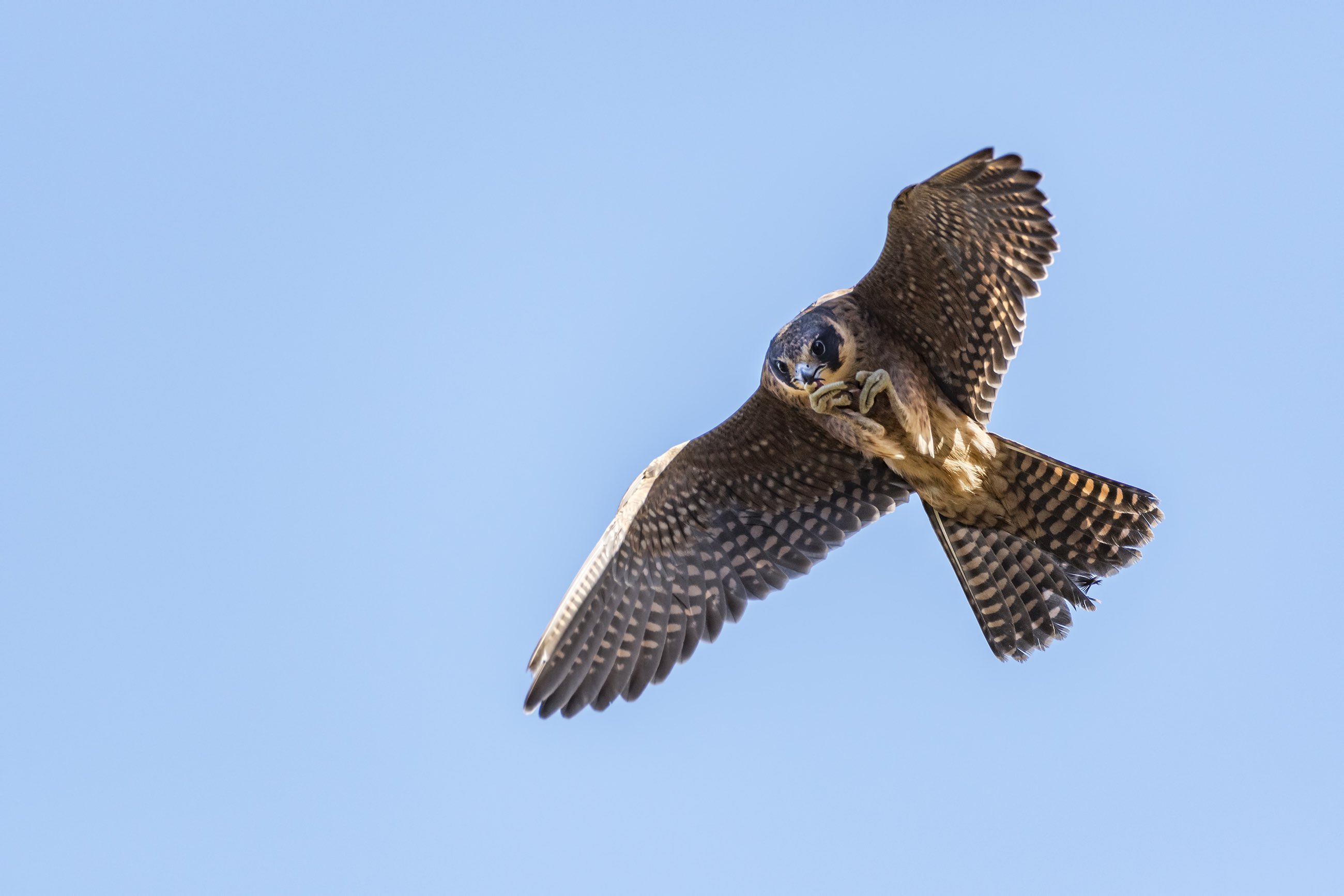 Down the wind: the ancient art of falconry put to a new use