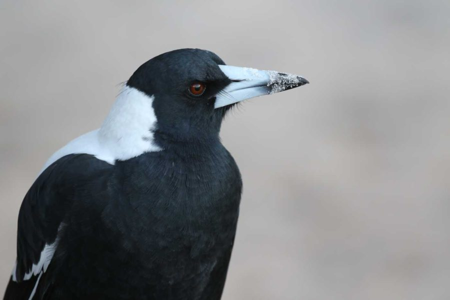 Australian magpies: the playful protectors