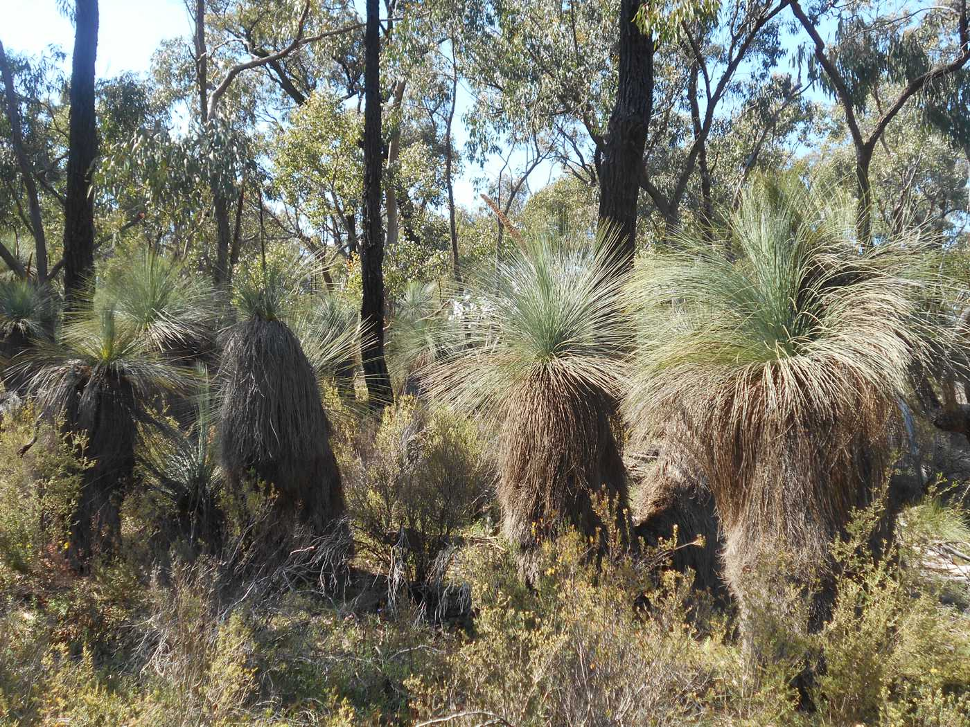 the ancient xanthorrhoea  uncovering grass trees in bailieston