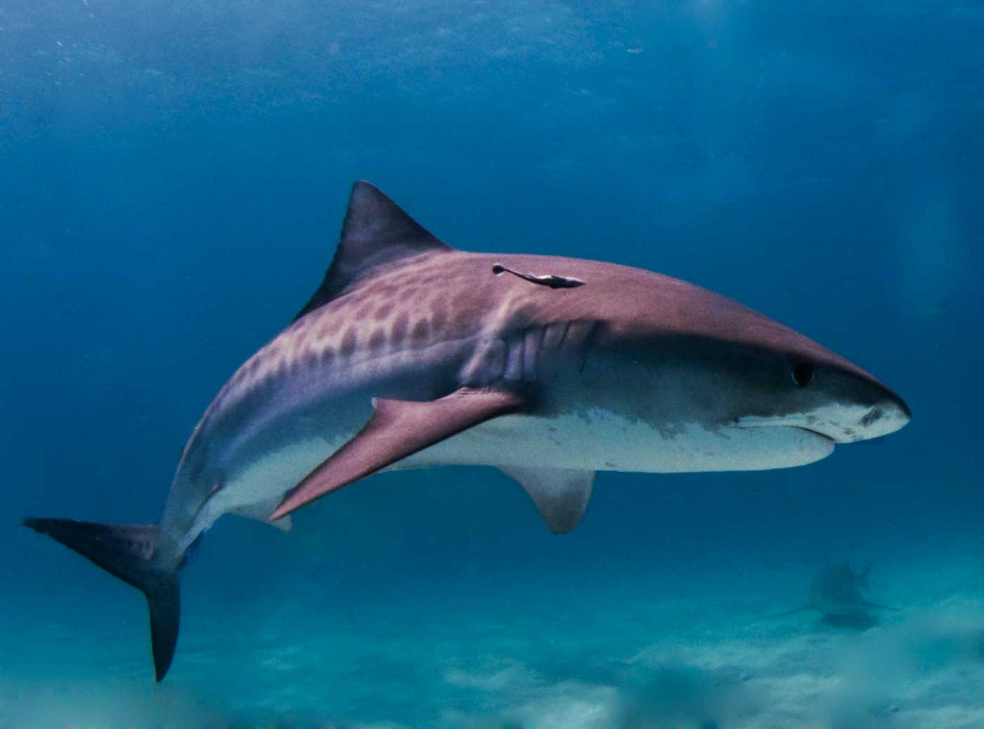 Tackling the myths and misunderstandings of shark attacks