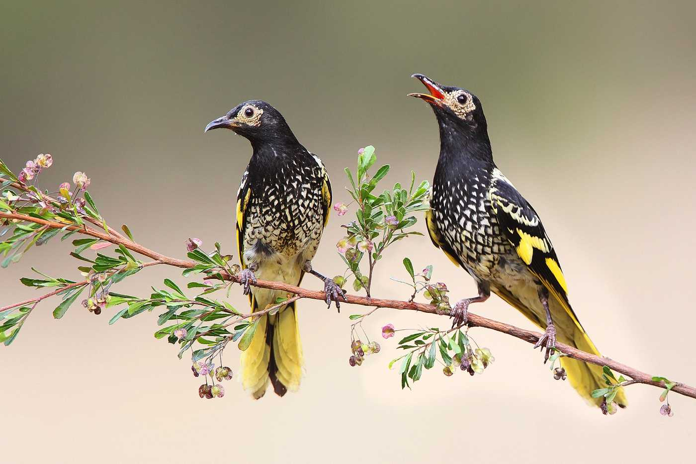 A Regent without an empire: habitat loss and the decline of the Regent Honeyeater