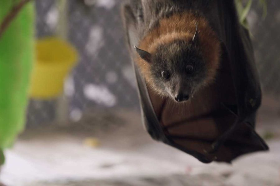 Friends of Bats and Bushcare: A Future for Flying Foxes