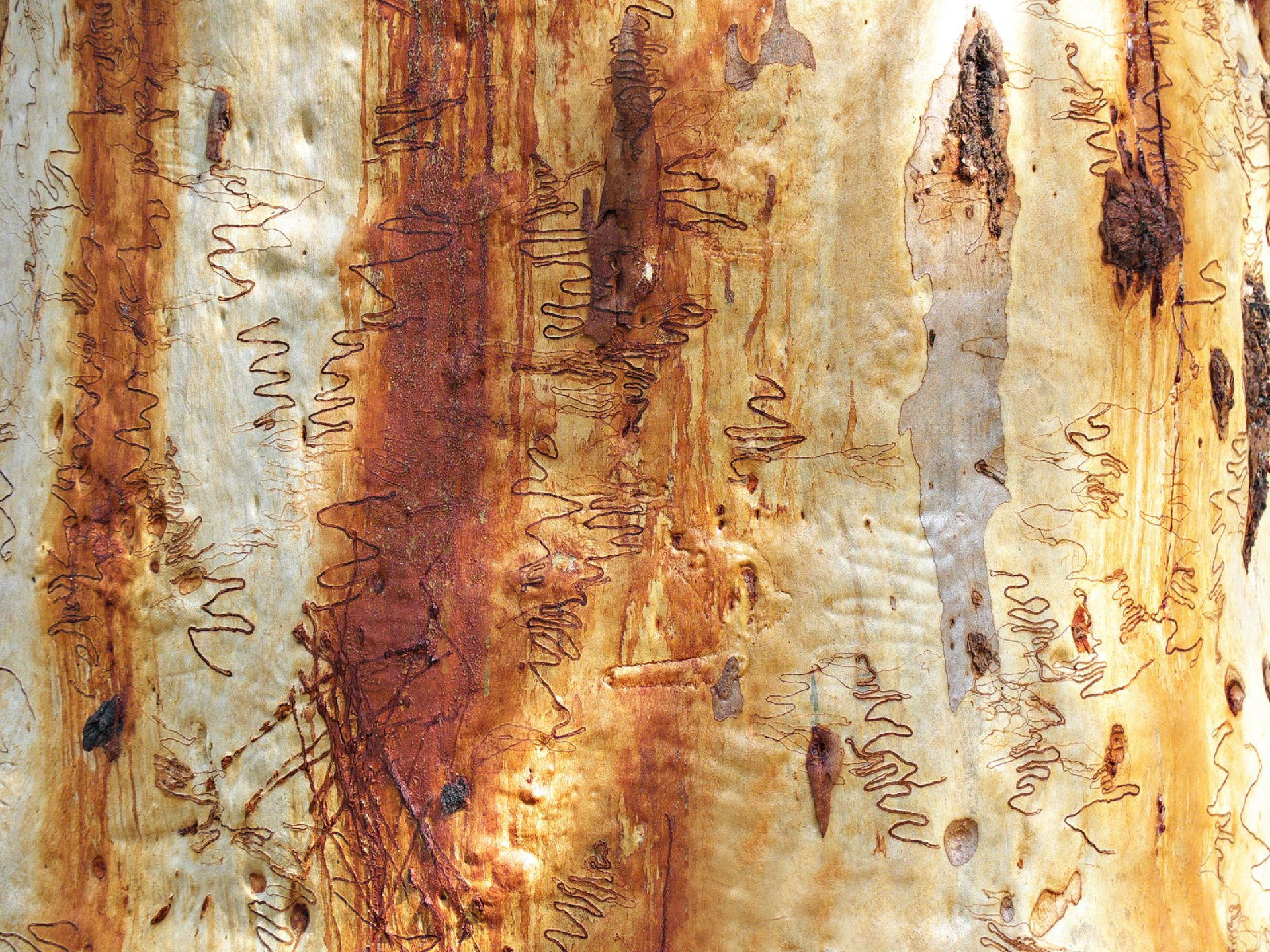'…a life I could not read': the significance of eucalypts in Australian culture