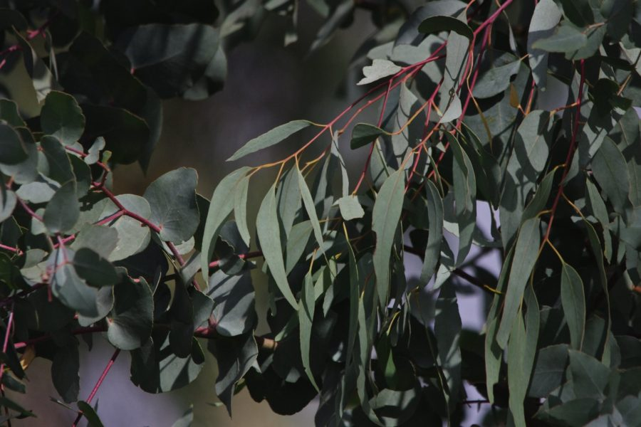 The scent of a eucalypt