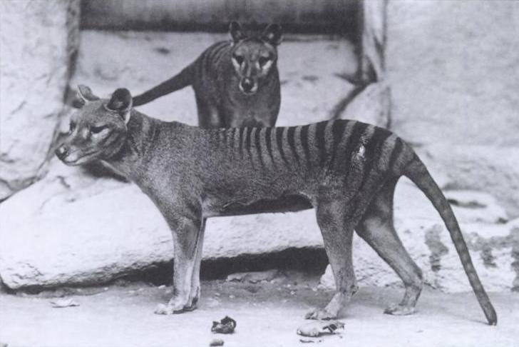 Remembering the Thylacine: Endangered, Extinct… Resurrected?