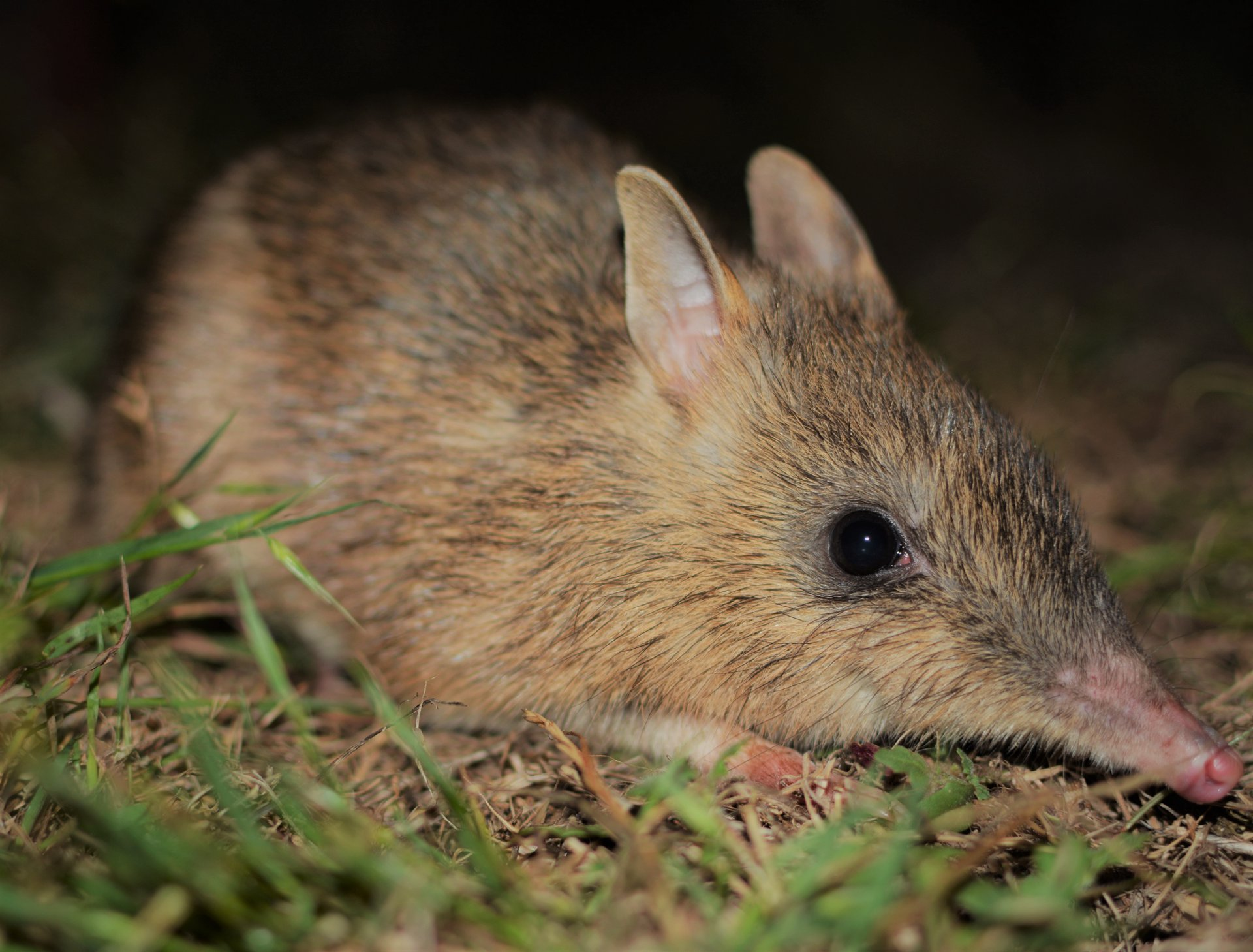 Back from the brink: crowdfunding for the genetic rescue of Eastern Barred Bandicoots