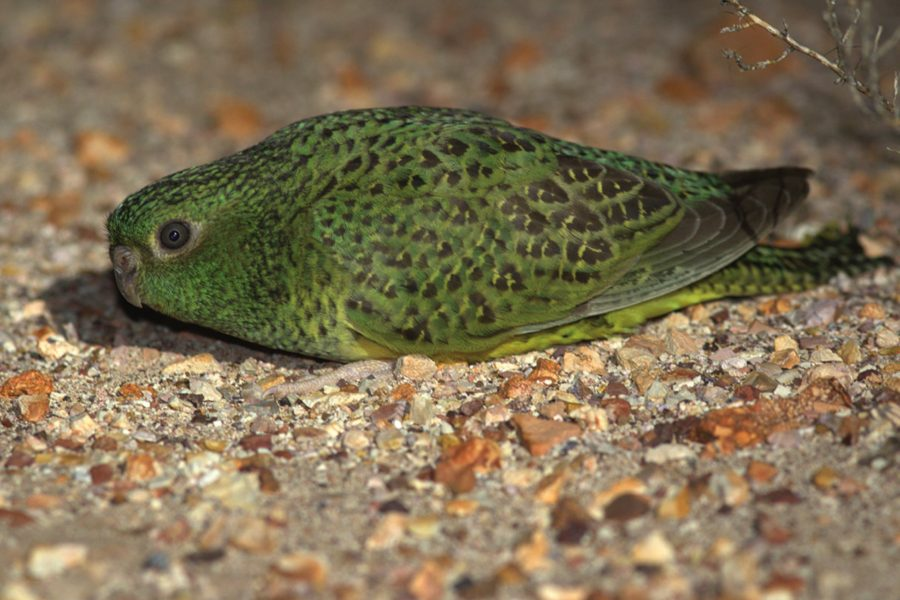 Penny Olsen on the enigmatic Night Parrot and the people who chase it