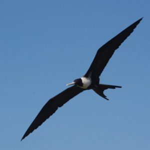 Seabirds that can't get wet: the bizarre lifestyle of frigatebirds