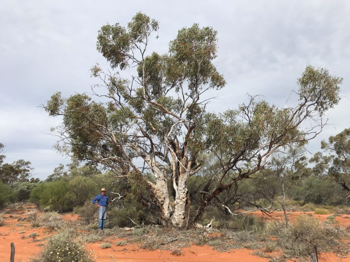 On National Eucalypt Day, don't forget the lesser-known eucs