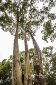 Spotted Gum - Sydney