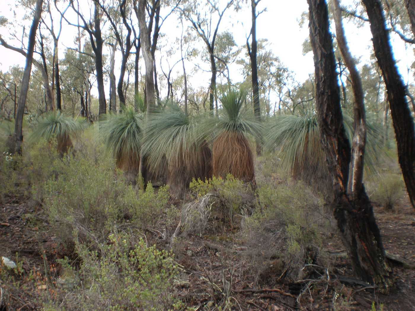 The ancient Xanthorrhoea: uncovering grass trees in Bailieston