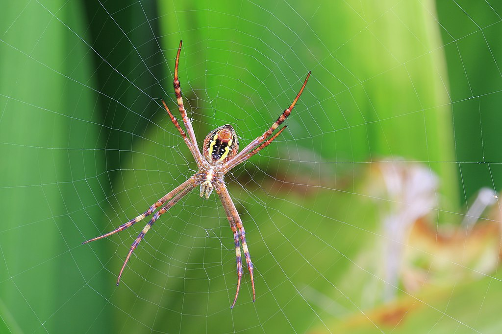St Andrews Cross Spiders make their webs between Carex leaves, waiting for insects to become trapped. Image by Stu's Images [CC BY-SA 3.0] from Wikimedia Commons.