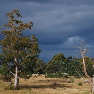 Six Things You Should Know About Eucalypts