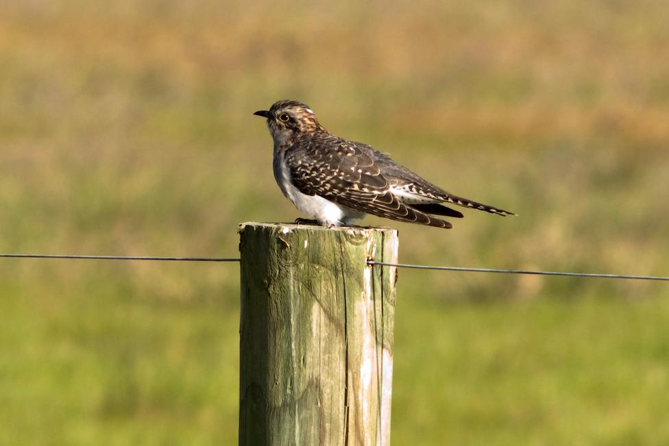 A Pallid Cuckoo. Image courtesy of CSIRO ScienceImage [CC By 3.0], via Wikimedia Commons.