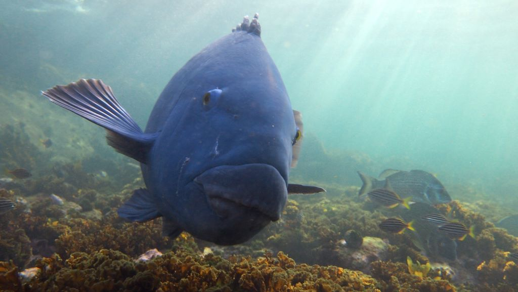 An Eastern Blue Groper. Image: Sylke Rohrlach [CC BY-SA 2.0], from Wikimedia Commons.