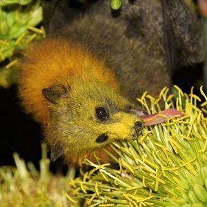 Fur and Flowers: Melbourne's Mammalian Pollinators