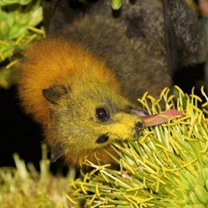 Fur and Flowers: Melbourne's Mammalian Pollinators