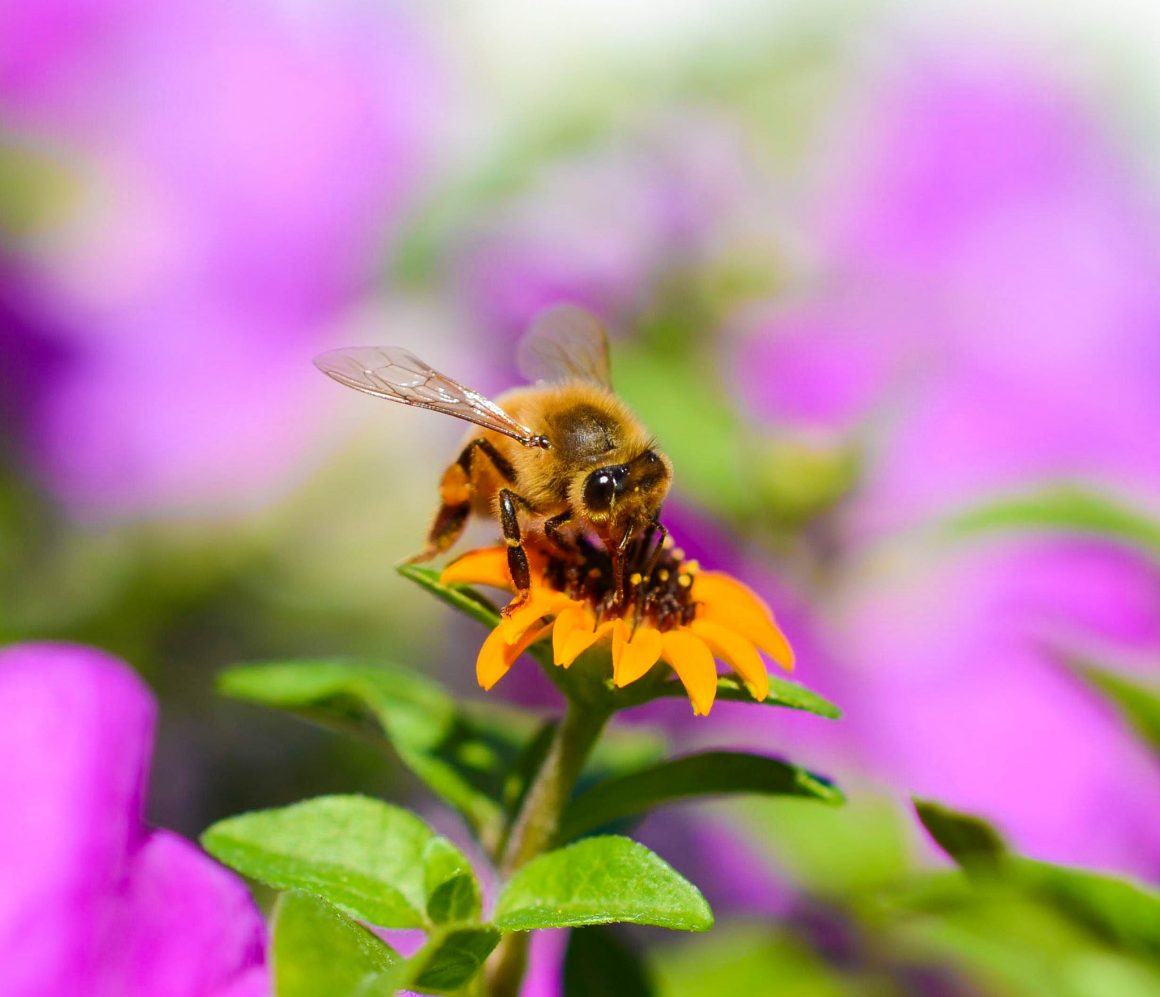 To bee or not to bee: a guide to our native pollinators