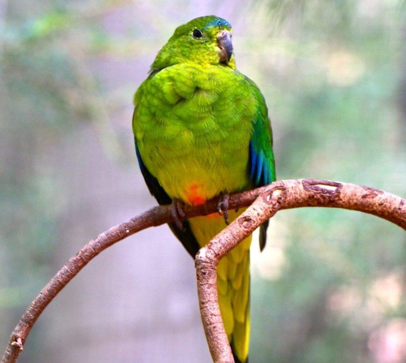 Plight of the Orange-Bellied Parrot