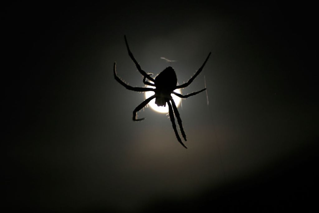 An orb weaver in front of the moon. Image: Fir0002/Flagstaffotos [GFDL 1.2], via Wikimedia Commons.