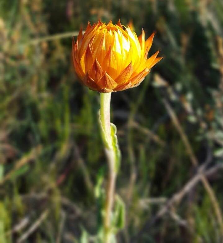 Everlasting flower. Image: Fam Charko