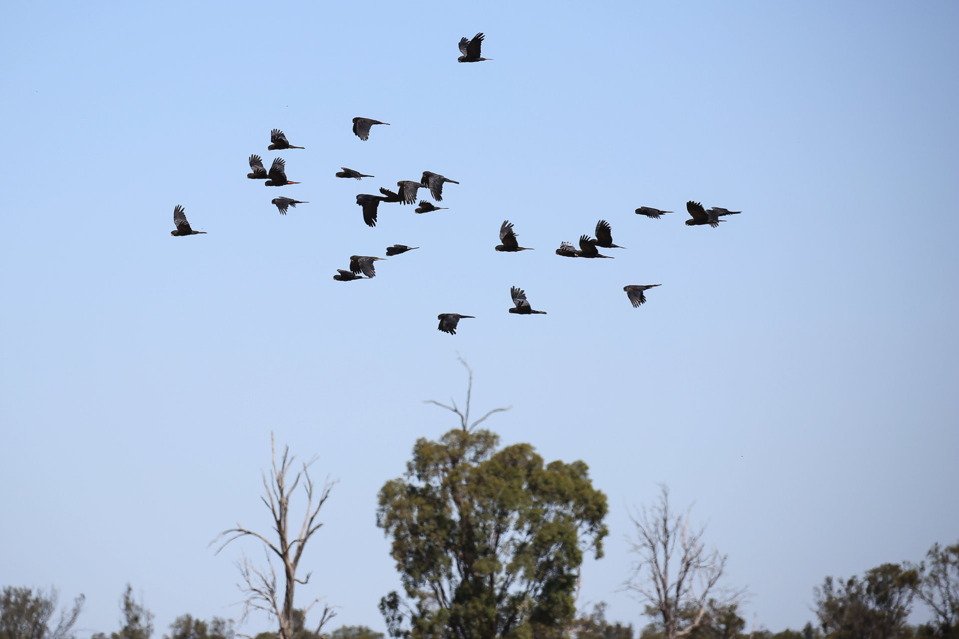 It takes a village: saving the South-eastern Red-tailed Black-cockatoo is a community ambition