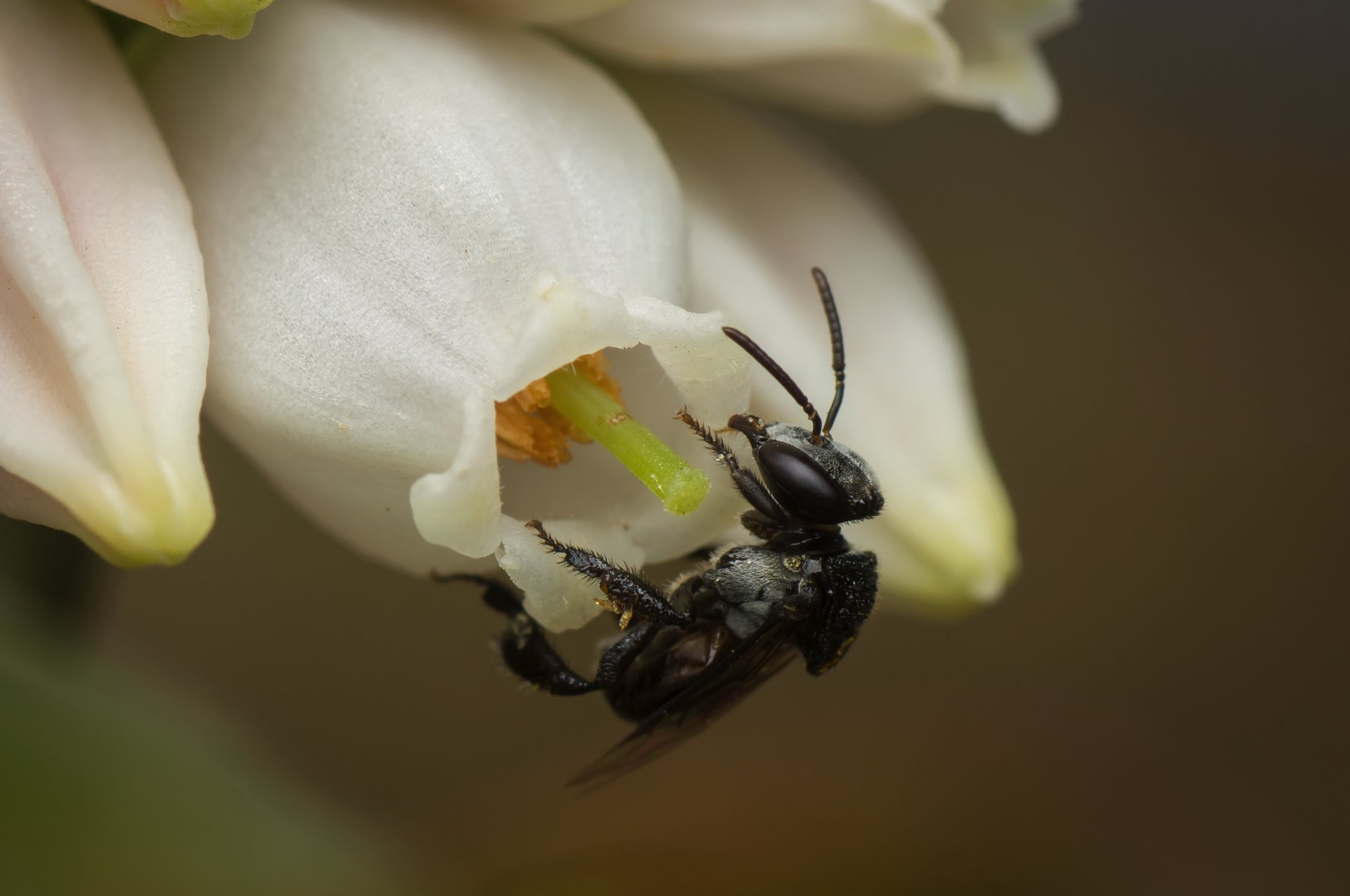 Sugarbag Bees lend a hand in Australian fruit crop pollination