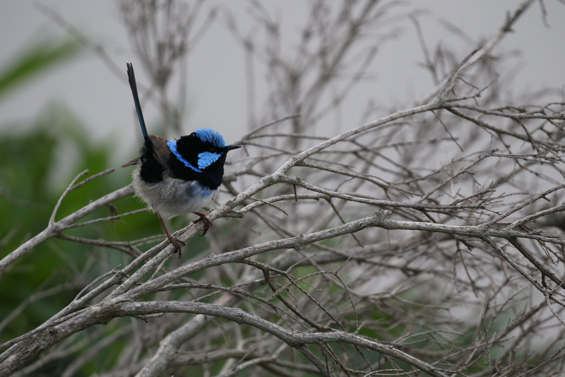 On the tail of the malurid wrens