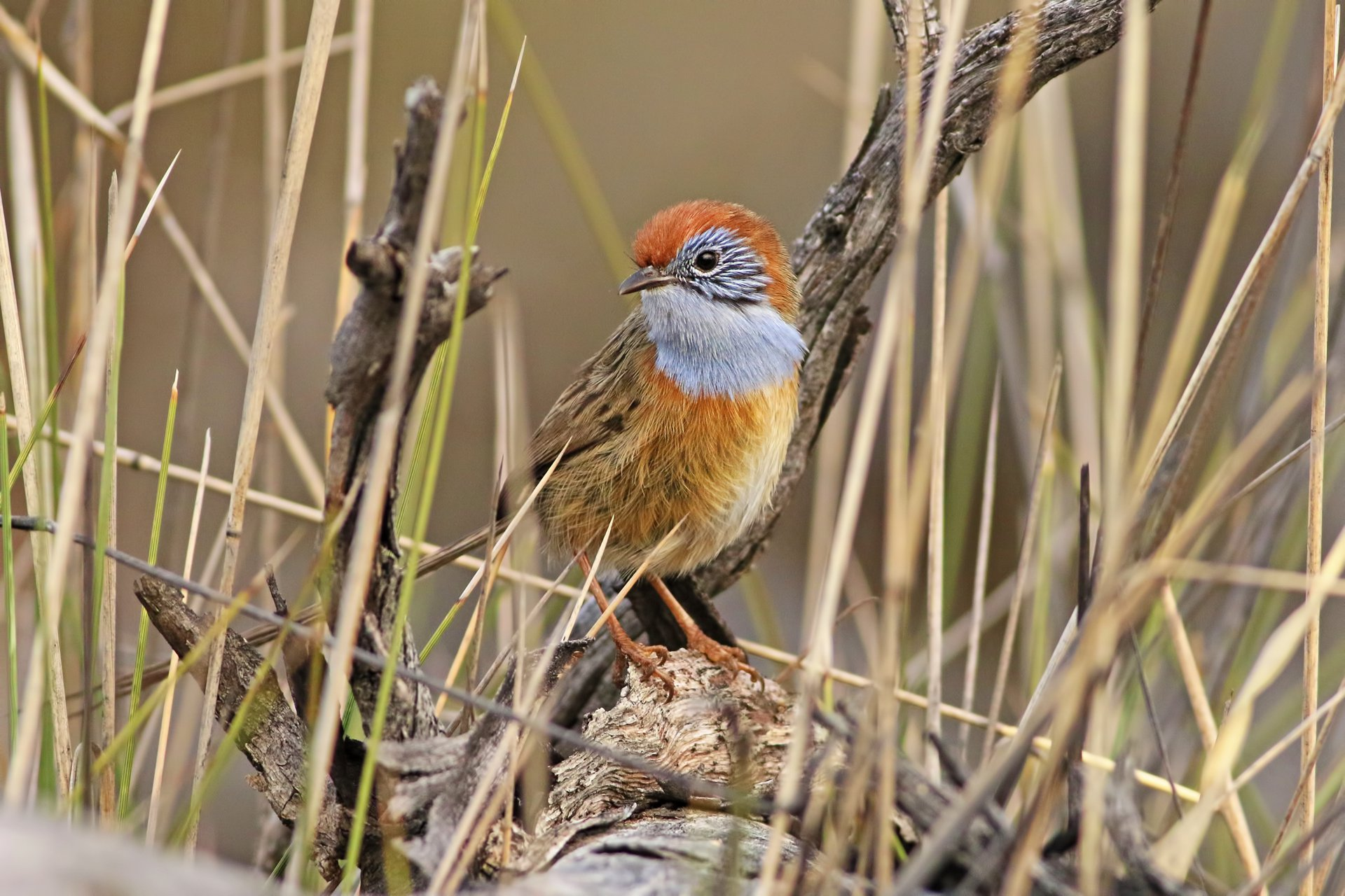 The emu-wren diaries