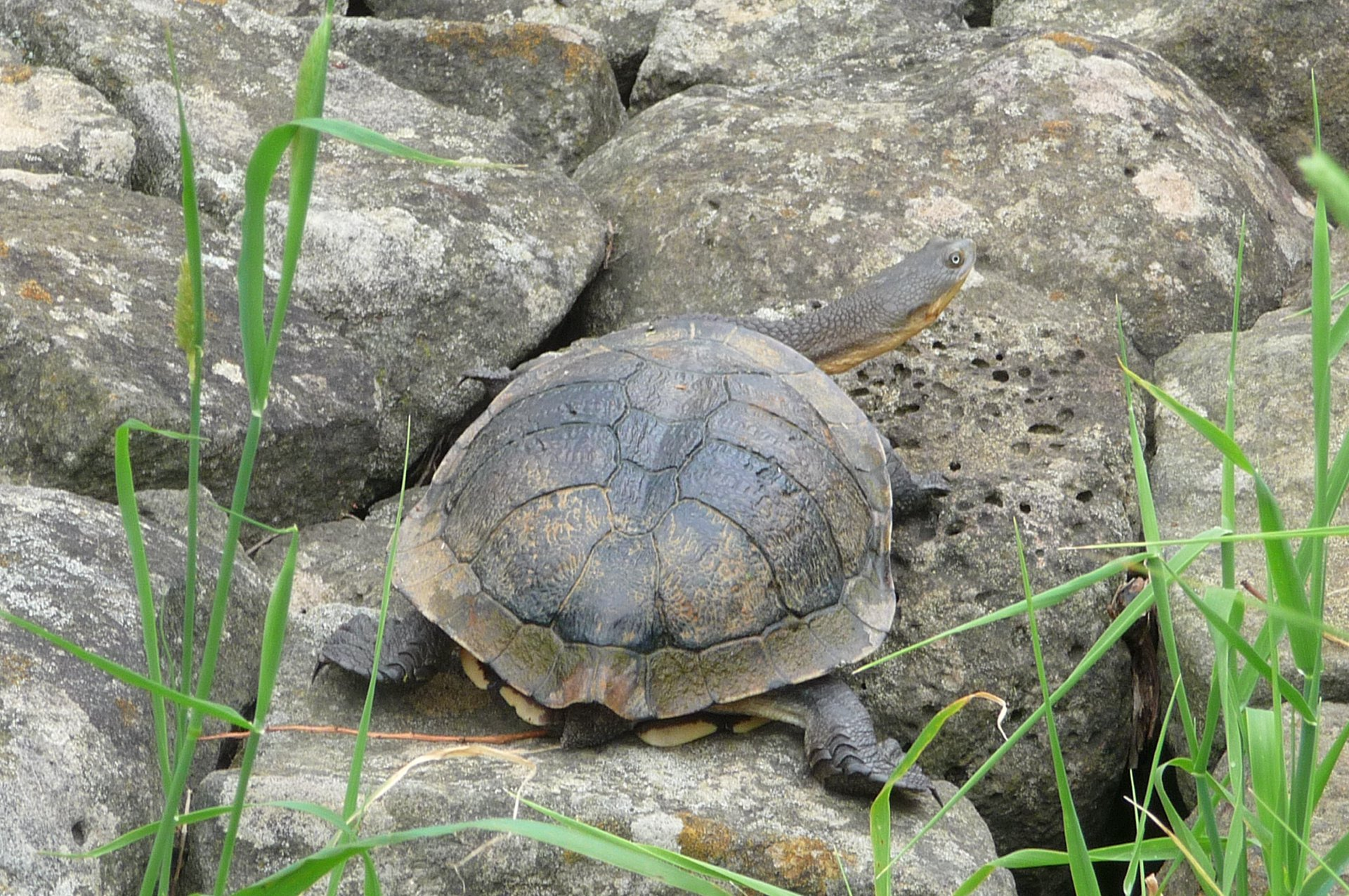 Turtles in trouble: looking out for the Eastern Long-neck