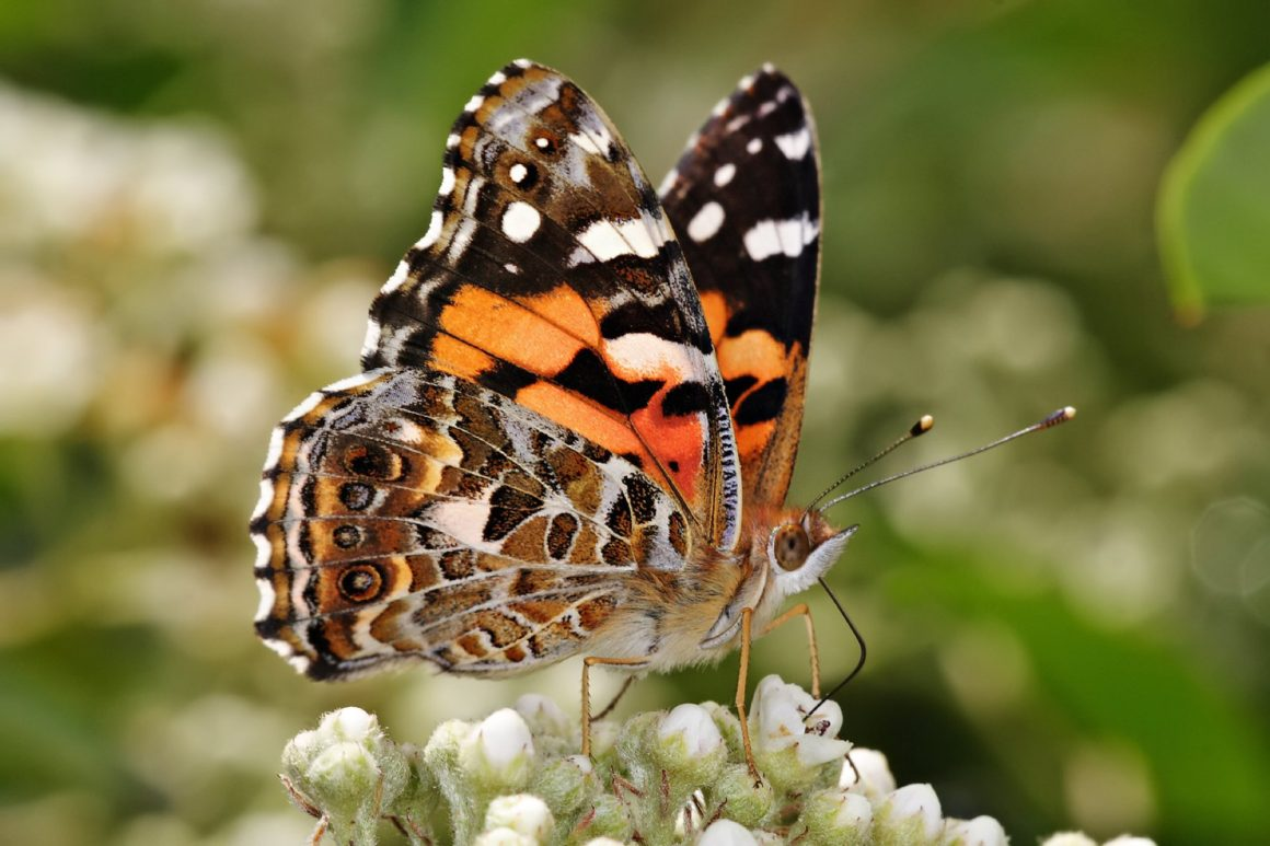 Balconies for butterflies: a guide for the urban gardener