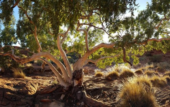 Eucalypt of the Year 2019