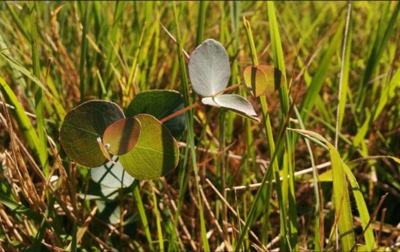 Growing pains: eucalypt leaves and tree adolescence