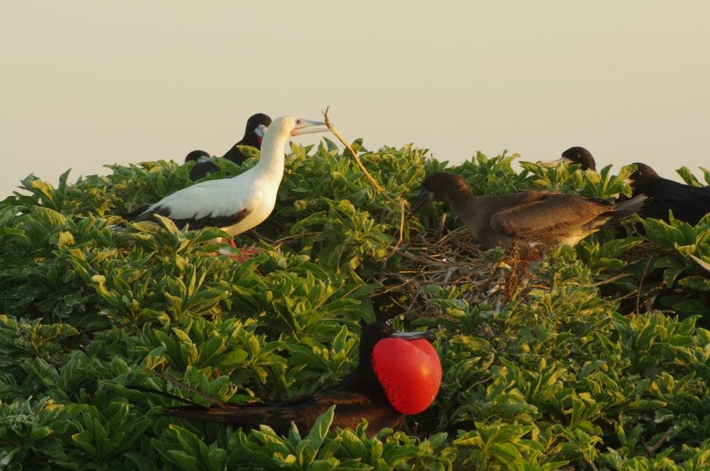 Male Great Frigatebird in nest