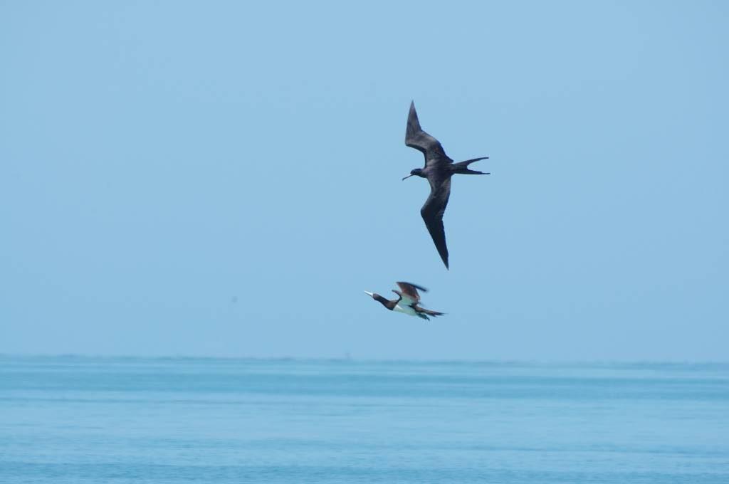 kleptoparasitism practised by frigatebird