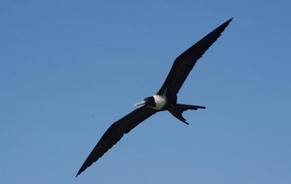 Seabirds that can't get wet: the bizarre lifestyle of frigatebirds