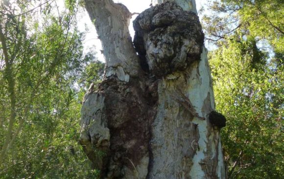 See the age-old Lion's Head Tree at Melbourne's Botanic Gardens
