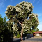 Angophora costata (Smooth-barked Apple) subsp. costata cultivar