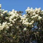 Corymbia eximia (Yellow Bloodwood)
