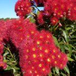 Corymbia ficifolia (Red Flowering Gum, Albany Redgum)