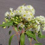 Corymbia gummifera (Red Bloodwood)
