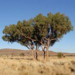 Corymbia opaca (Desert Bloodwood)