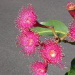 Corymbia ptychocarpa (Swamp bloodwood)