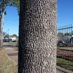 Corymbia tessellaris (Moreton Bay Ash)