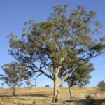 Eucalyptus albens (White Box)
