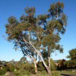 Eucalyptus blakelyi (Blakely's Red Gum)