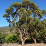 Eucalyptus botryoides (Bangalay, Southern Mahogany)