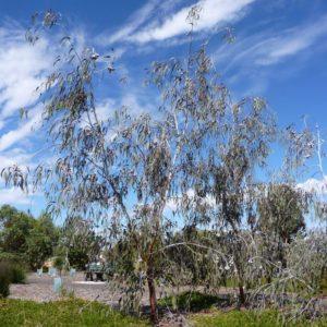 Eucalyptus caesia subsp magna cultivar