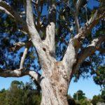 Eucalyptus camaldulensis - subsp. camaldulensis (River Red Gum)